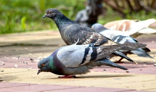 Что едят голуби в дикой природе и дома