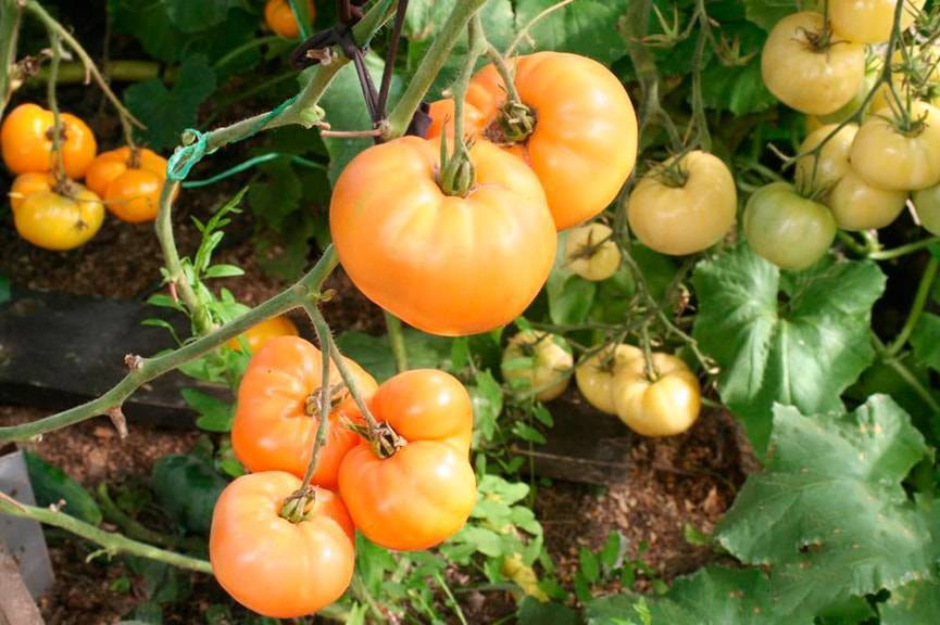Томат хурма: выращивание помидор, описание и характеристика сорта
