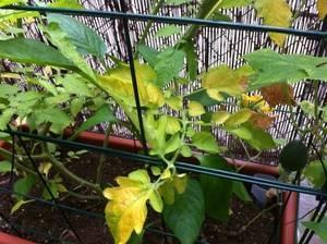 Почему плохо растет рассада помидор, желтеет, вянет и падает?
