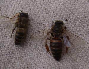 Болезни пчел и их лечение