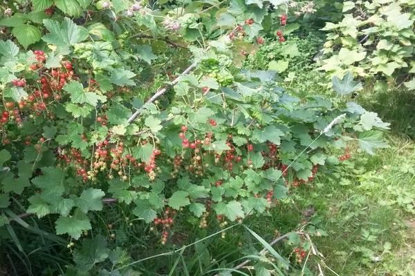 Лекарственные растения: полезные свойства листьев смородины, противопоказания, сбор, хранение