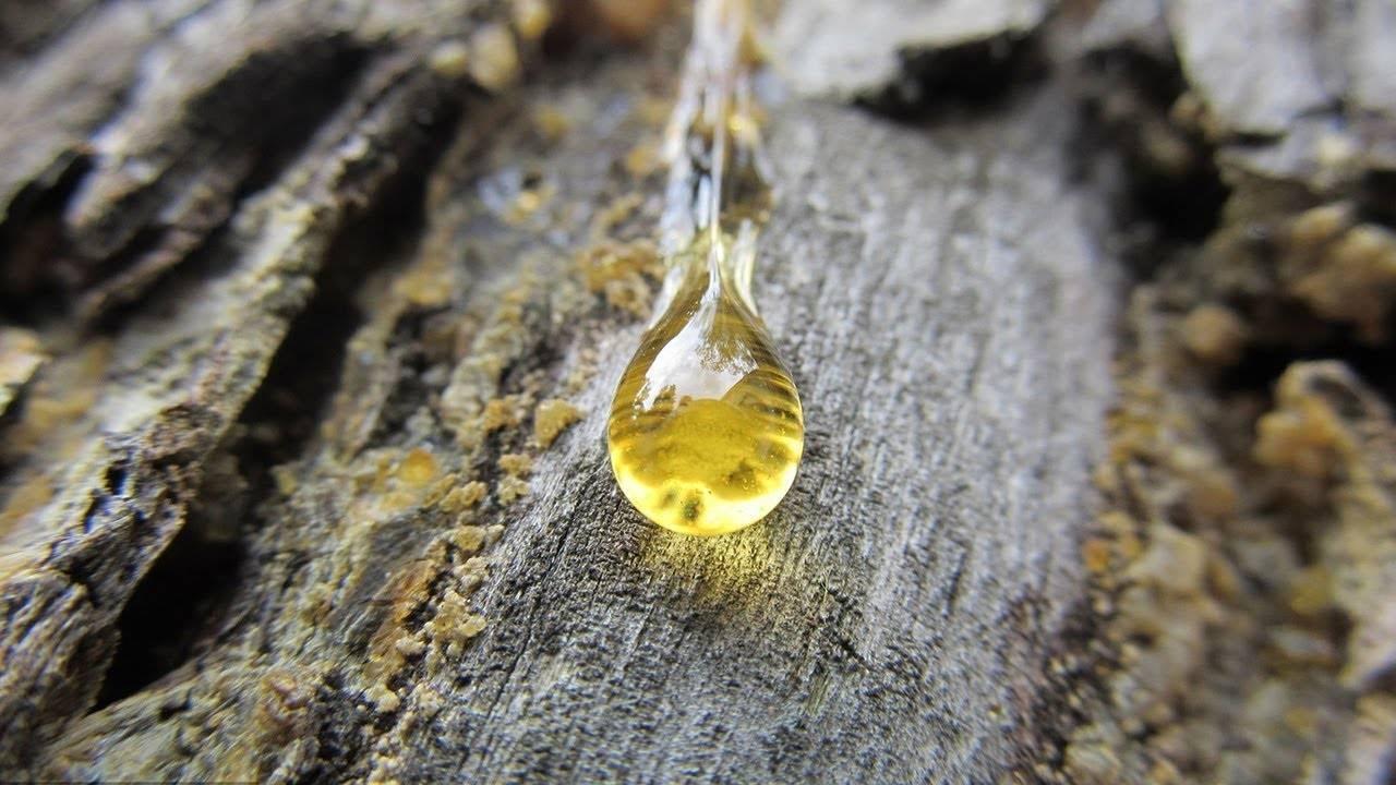 Полезные свойства и применение сосновой смолы