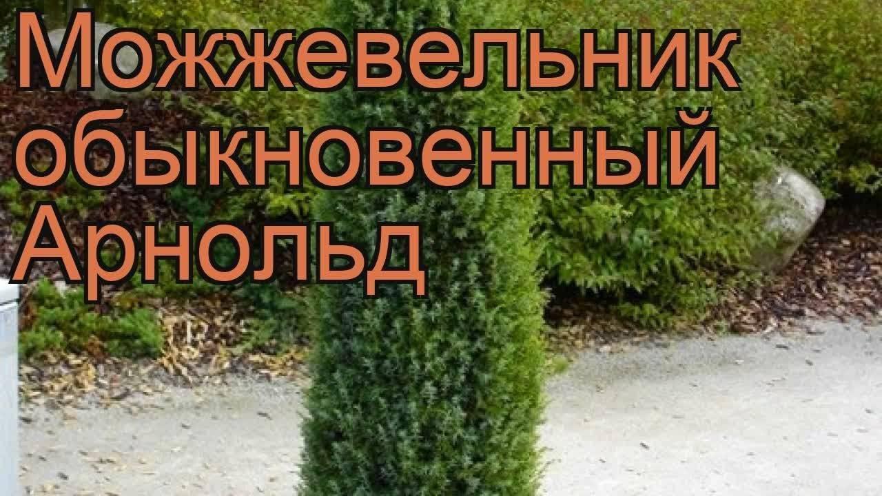 Можжевельник казацкий: описание, сорта, посадка и уход