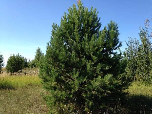 Когда пересаживать лучше сосну. как выбрать и выкопать саженец сосны в лесу: советы и рекомендации