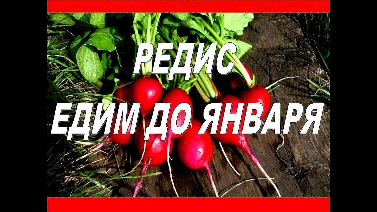 Редис Красный великан: описание, фото, отзывы