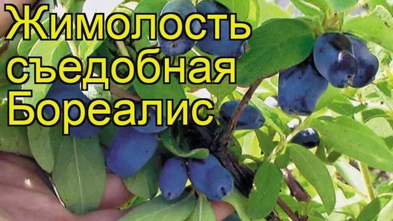 Жимолость: секреты посадки и ухода в открытом грунте
