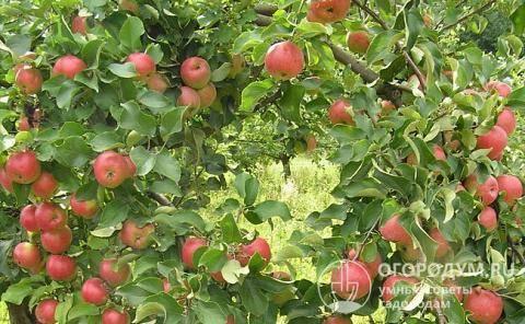 Сорт яблони жигулёвское – высокая урожайность и неприхотливость в уходе
