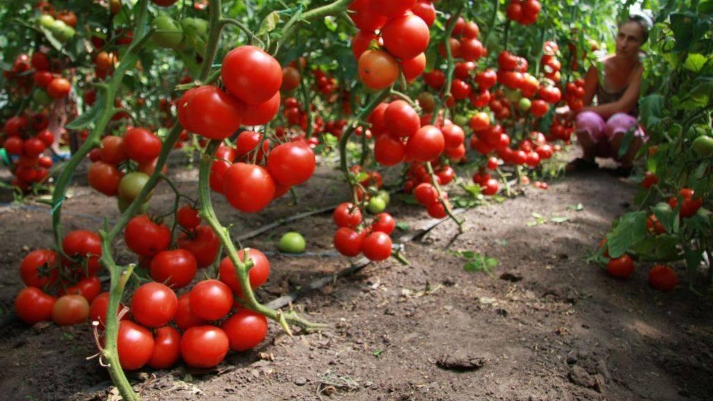 Характеристика томатов сорта бабушкин подарок