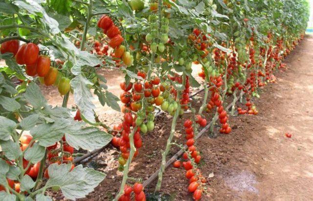 Как формировать томатный куст: схемы формирования в теплице и открытом грунте для высокорослых и низкорослых помидоров