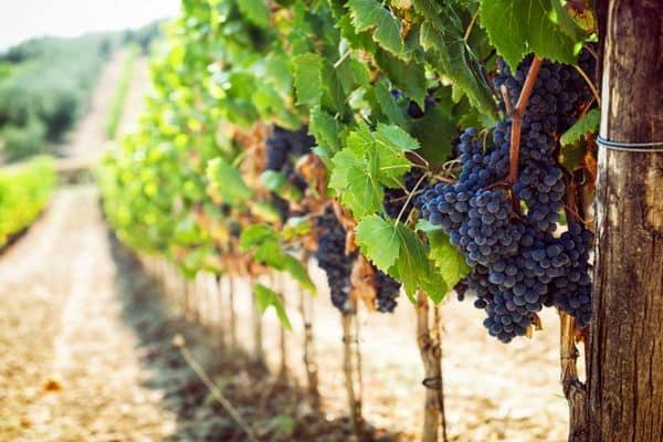 Сорт винограда кишмиш 342 (кишмиш венгерский)
