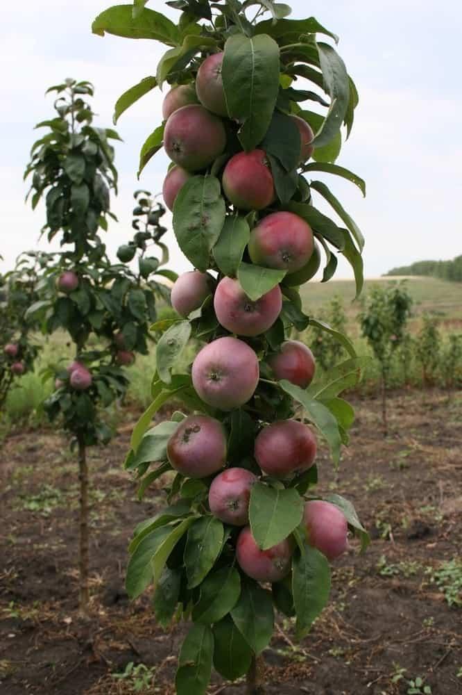Сорта и преимущества колоновидных яблонь