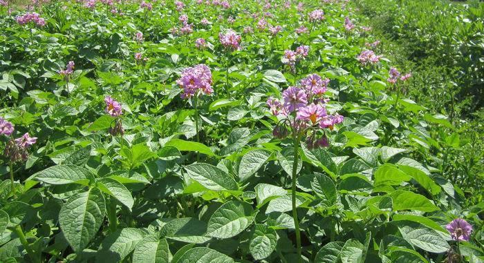 Описание высокоурожайного сорта картошки изюминка