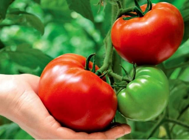 Когда убирать помидоры в теплице на урале. когда высадить помидоры в теплицу