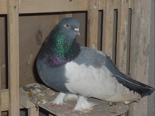 Знакомимся с породами голубей и их названиями по фото