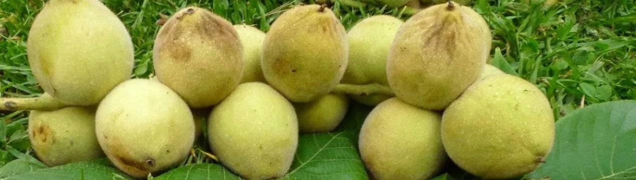 Плодоносность маньчжурского ореха