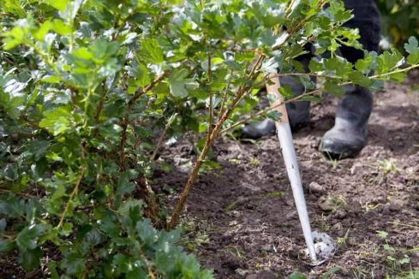 Уход за крыжовником, смородиной и малиной после сбора урожая, фото, подкормка, обрезка и обработка