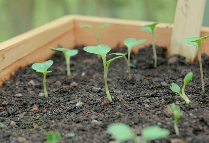 Описание сорта капусты золотой гектар и его характеристики