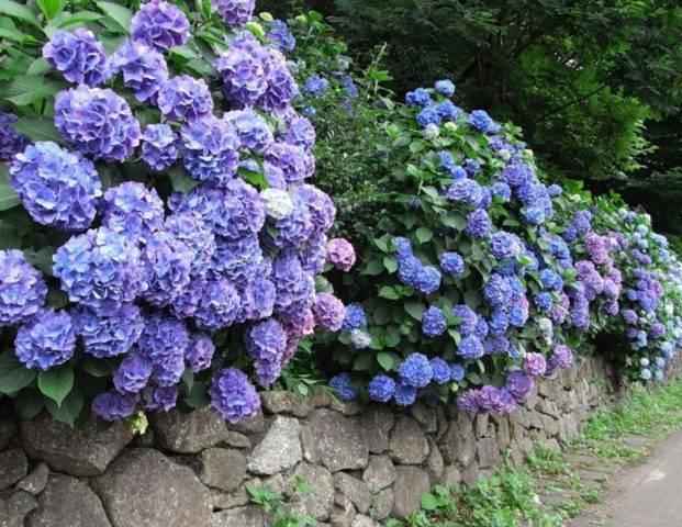 Голубые и синие сорта гортензии