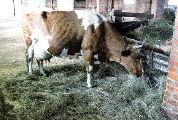 Как понять, что корова перегуляла?