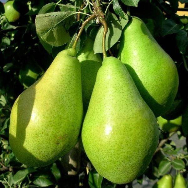 Висит ноябрьская груша – можно скушать