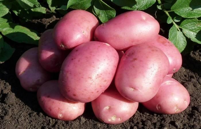 Отличительные характеристики сорта картофеля крона и особенности его выращивания