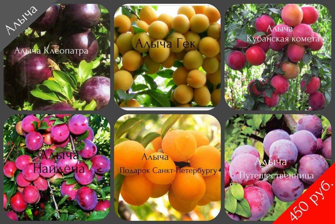 Слива фиолетовая — описание сорта, фото, отзывы садоводов
