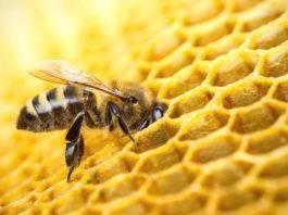 Каких болезней пчел следует опасаться пчеловоду?