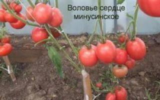 Выращивание томатов воловье сердце