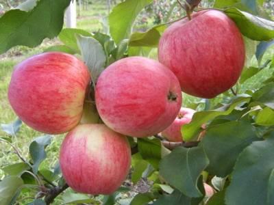 Описание сорта яблок жигулевское