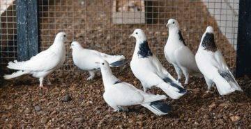 Бакинские бойные голуби – замечательная летная порода