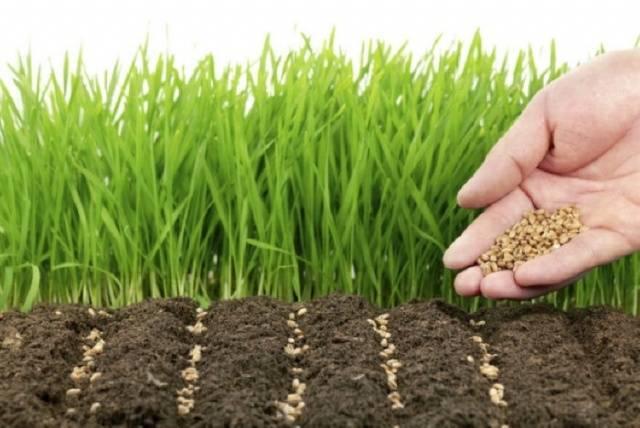 Чем засеять огород, чтобы не росли сорняки: выбираем сидераты