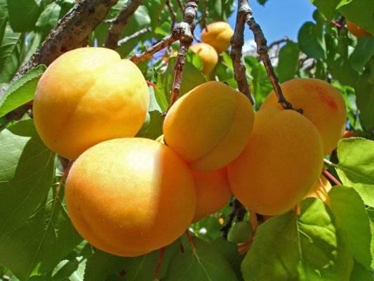 Лучшие сорта абрикосов для средней полосы (фото, описания, отзывы садоводов)