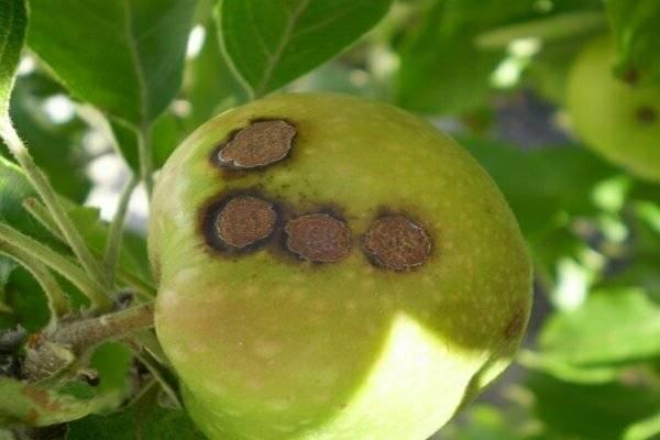 Парша на яблоне — как правильно от нее избавиться? примеры эффективных методов!