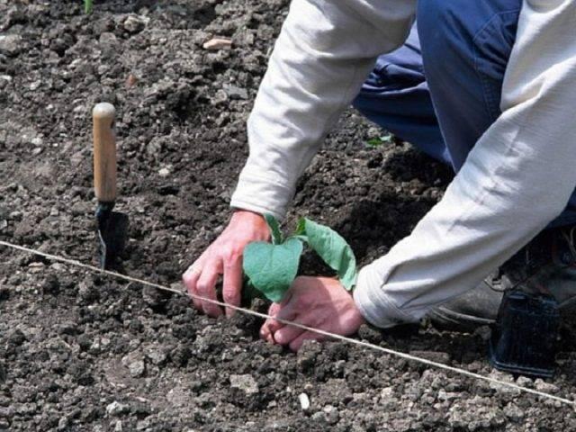 Лучшие сорта баклажанов для открытого грунта для разных регионов