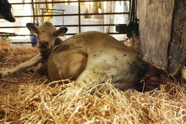 Выкидыш у коровы причины » полезный блог обо всем