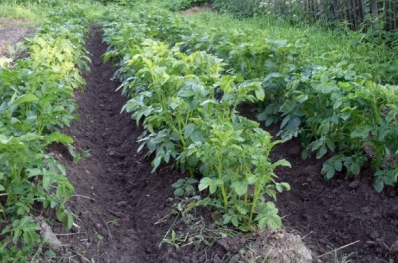 Картофель ласунок — описание сорта, фото, отзывы, посадка и уход