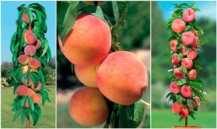 Описание сортов колоновидного персика и особенности выращивания