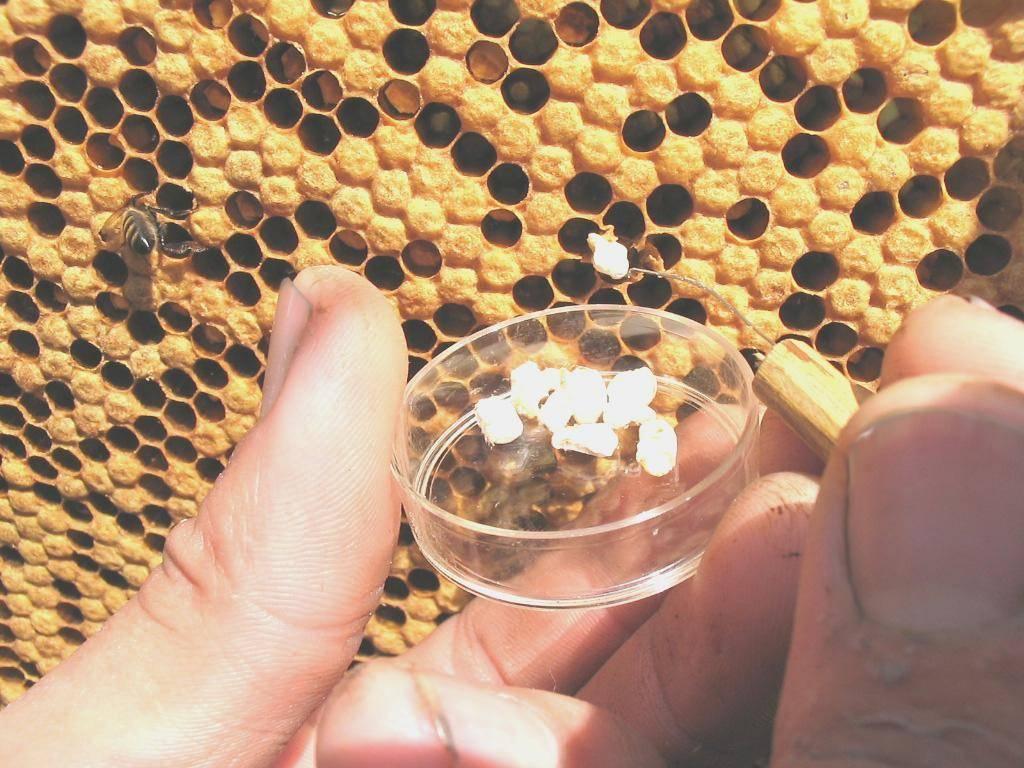 Аскосфероз пчел и его лечение