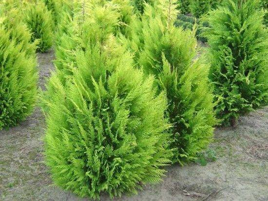 Кипарисовик лавсона сноу вайт (chamaecyparis lawsoniana snow white)