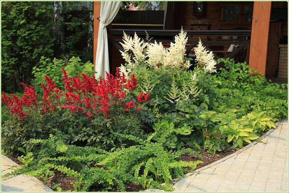 Астильба: выращивание в открытом грунте, посадка и уход