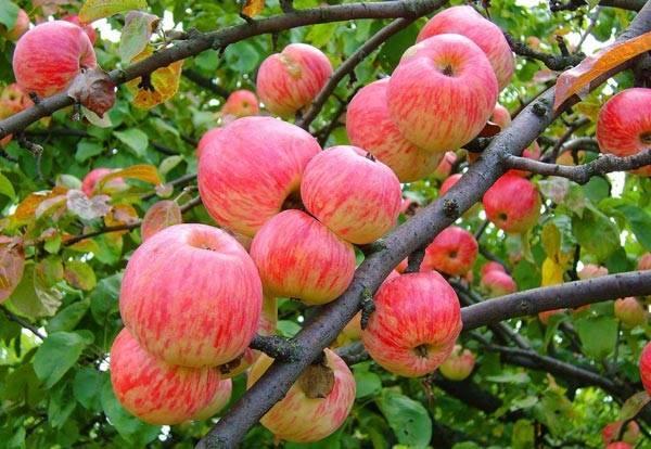 Яблони сорта елена – описание и методика ухода
