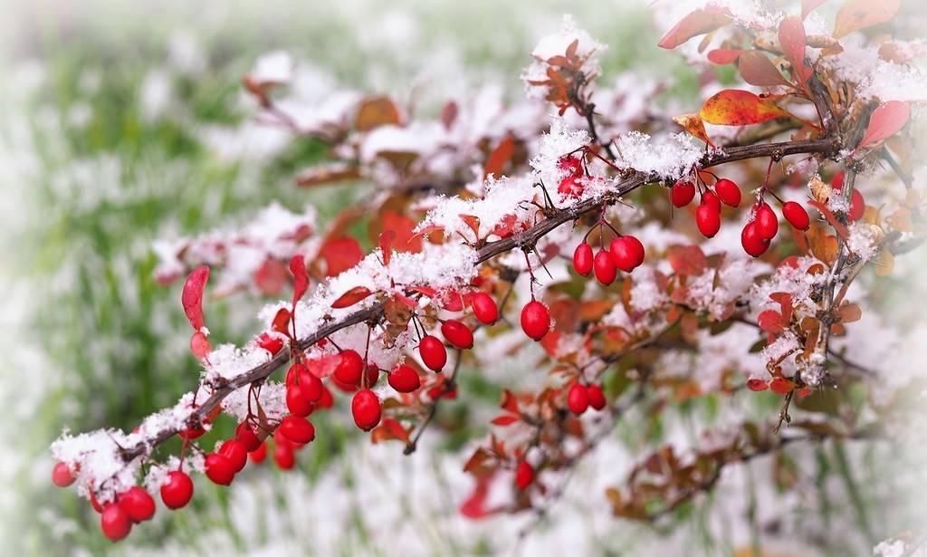 Когда собирать барбарис ягоды — ягоды грибы