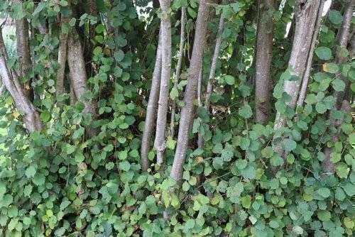 Лещина: описание растения, посадка и уход