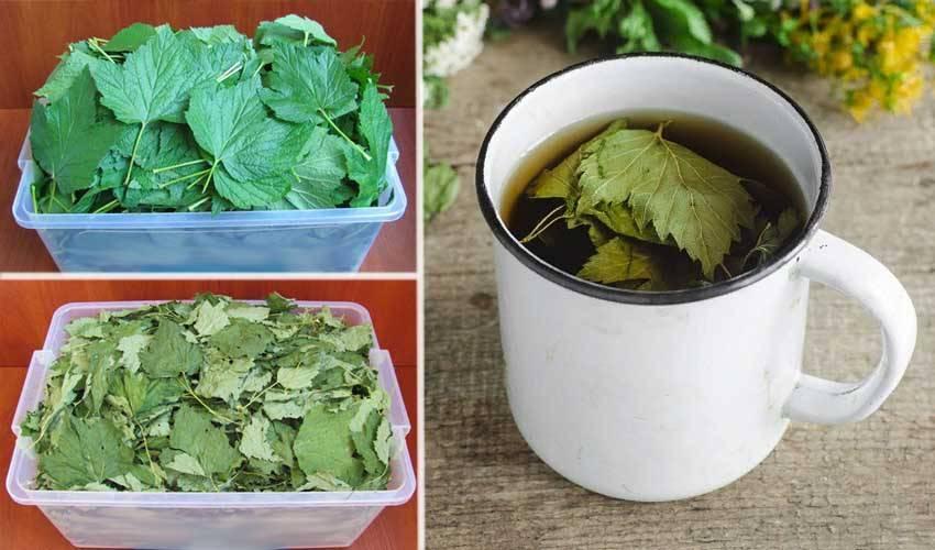 Профилактика листьев смородины от заболеваний и как вылечить растение