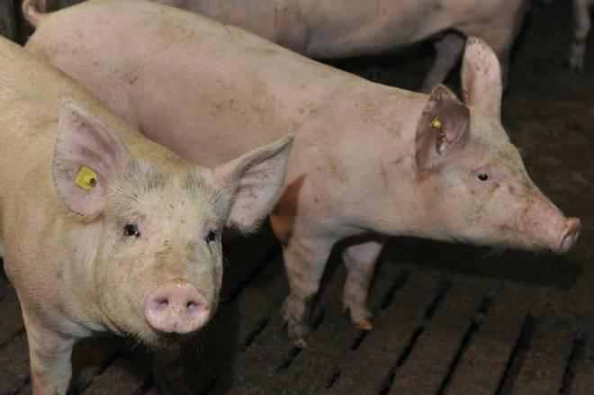Болезни свиней: симптомы и лечение - подробная информация!