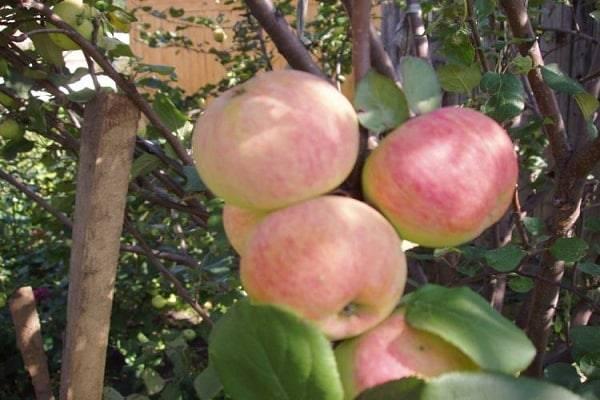 Яблоня локарно — описание сорта, фото, отзывы