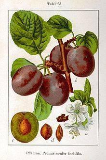 Лучшие сорта слив для подмосковья: фото, названия, описание самых вкусных разновидностей плодов
