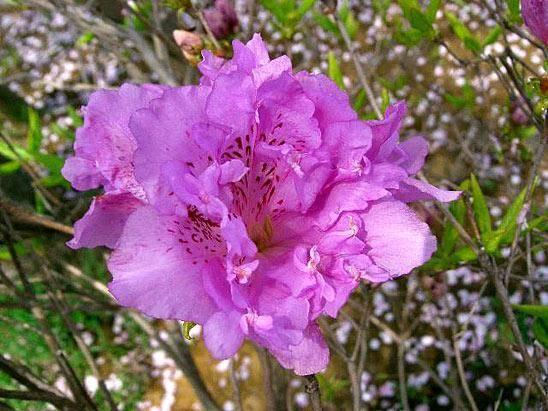 Каннингемс уайт — описание и уход за рододендроном