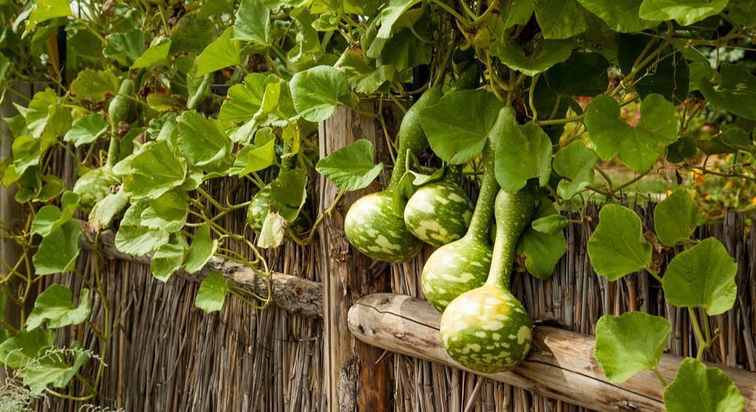 Лагенария или тыква горлянка выращивание из семян на рассаду посадка и уход в открытом грунте