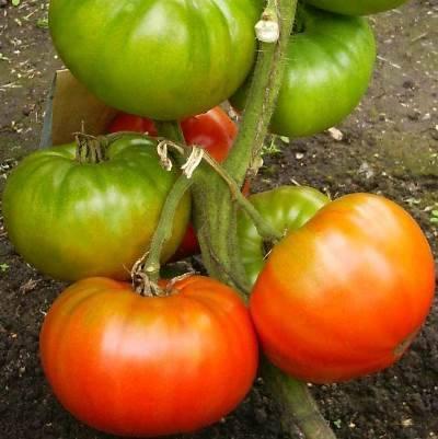 Особенности посадки и выращивания томата король ранних